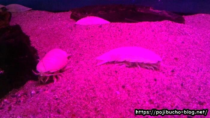 サンピアザ水族館のオオグソクムシ