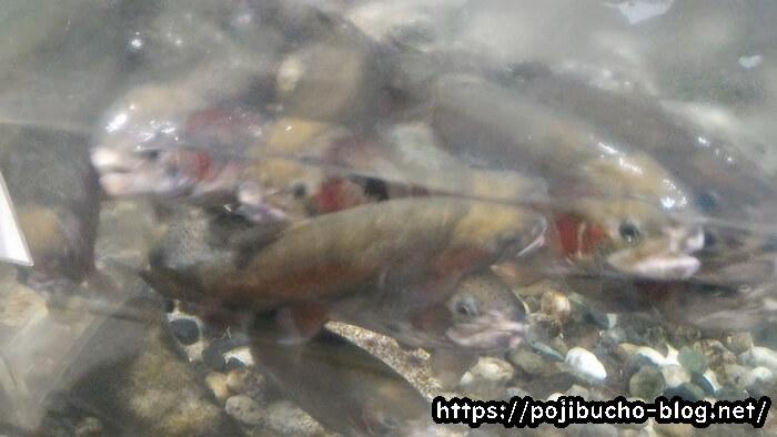 サンピアザ水族館のニジマス