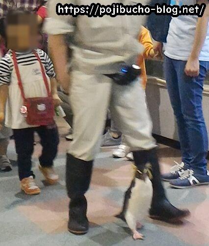 ペンギンガイドツアーで歩くペンギン